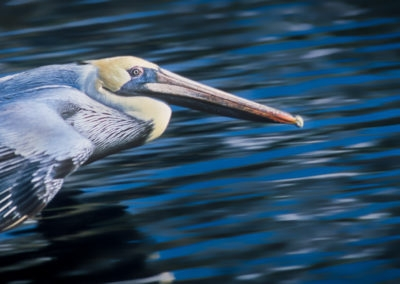 pelican flying paul aspen photography